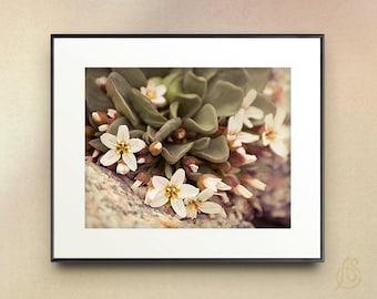 Alpine Spring Beauty Fine Art Photograph // White Wild Flowers Colorado Mountain // 5x7 8x10 8x12 11x14