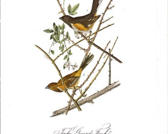 Towhe Ground Finch Audubon Book Plate to Frame or for  Collage, Scrapbooking, Paper Arts, Assemblage and MORE PSS 0993