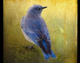LOVELY BLUEBIRD, 5x5 Original, Signed Fine Art Photograph