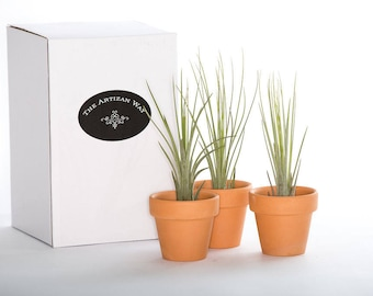 "2 1/2"" Small Terra Cotta Pot with  Air Plant - 3 Pack"