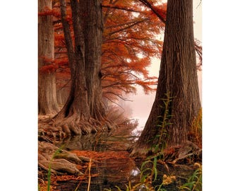 Tree Print, Tree Photo, Cypress Trees, Large Trees, Tree Photography, Autumn Colors, Landscape Photography, Fog Photo, Texas Hill Country,