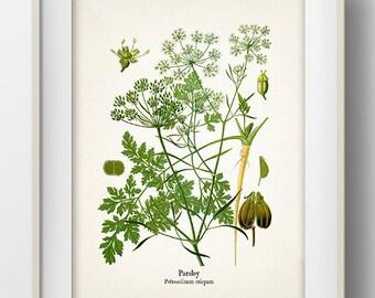 Vintage Parsley Print - KO-13 - Fine art print of a vintage natural history antique illustration