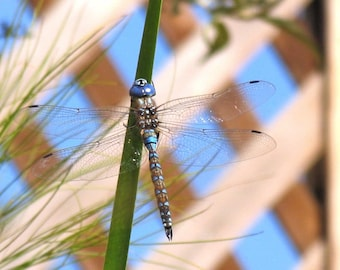 Dragonfly Print by DENISE SLOAN