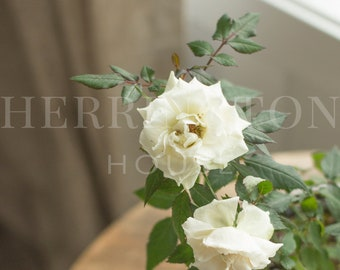 White rose plant horizontal stock photo | Flower stock image - Lifestyle stock photo - Neutral - Greenery stock photo - Instagram photo