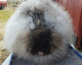 """Giant Angora wool, sable color, 3-5"""" length, sold by the ounce."""