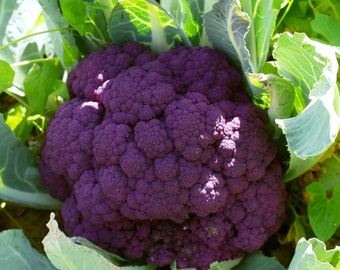 200+ Cauliflower Seeds- Sicilian Violet (Purple)- Heirloom