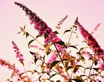Flower Photography, Fuchsia Buddleia, Warm Sunset Sky, Pretty in Pink, 8x12, Fine Art Flower Photo Print, Summer Evening Glowing Sky, Floral