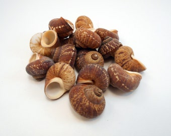 "Set of 50 small Fernandezi Snail Shells Seashells (3/4""-1"") for Crafts and Beach Cottage Decor"