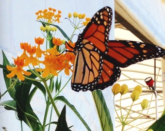 Tropical Milkweed Seeds, Asclepias curassavica, Monarch Butterfly Host Plant, Easy to Grow Yellow Milkweed