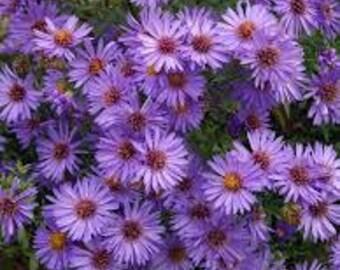 Purple Aster Flower Essence