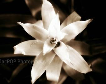 Ethereal Sepia Flower Fine Art Photograph on Metallic Paper