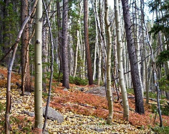 Fall Forest, Autumn Trees, Rocky Mountain Autumn Forest, Autumn colors,  Photograph or Greeting card