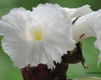 Crepe Ginger Flower
