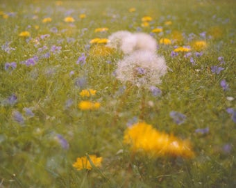 dandelion field: nature photography. spring flower photography. dandelion yellow floral photo. colorful fine art. multiple exposure photo.