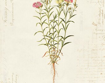 "Vintage Botanical Flower ""Dianthus Causasicus"" on French Ephemera Print 8x10 P33"