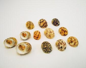 "12 Large Bleeding Tooth Shells Seashells (1"" - 1 1/2"") Nerita Peloronta for Shell Crafts and Beach / Coastal Decor"