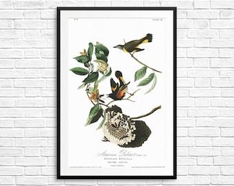 American Redstart, Birds of America, birdwatching, birdwatcher gifts, bird posters, vintage bird art, antique bird prints, rustic kitchen