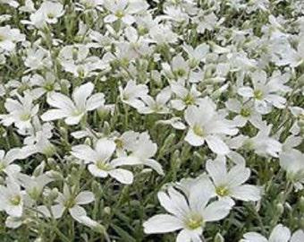 Snow In Summer Cerastium Flower Seeds / Perennial  100+