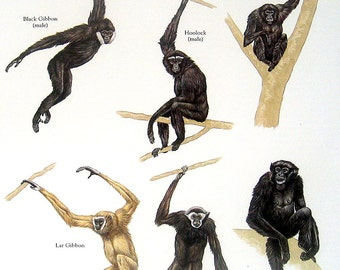 Apes Black Gibbon, Hoolock, Lar Gibbon, Siamang Vintage 1980s Bird Book Plate Page