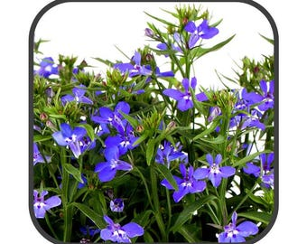 Lobelia Herb - Lobelia erinus
