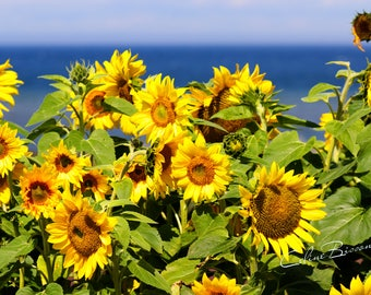 Lot of colorful sunflower in bloom