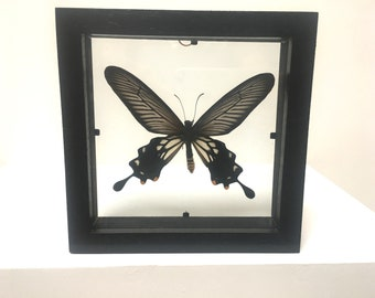 Atrophaneura Coon Coon Butterfly/Insect/Taxidermy/Lepidoptera.