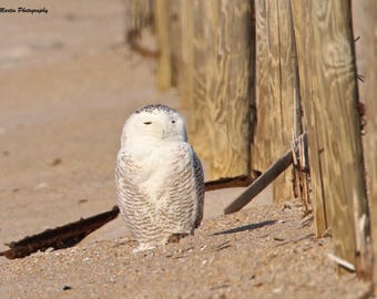 A Snowy Owl in the Sand