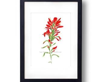 Indian paintbrush watercolor print, Indian paintbrush art print, wild flower art, botanical painting, Red, Green, flower watercolor, Wyoming
