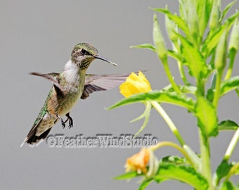 Ruby Throated Hummingbird Nature Photography Hummer in Flight Bird and Bloom Home Decor Evening Primrose Yellow Flower Photo Art Gray Print