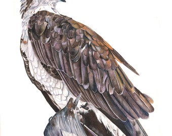 Osprey Watercolor painting Print of watercolor painting 5 by 7 size