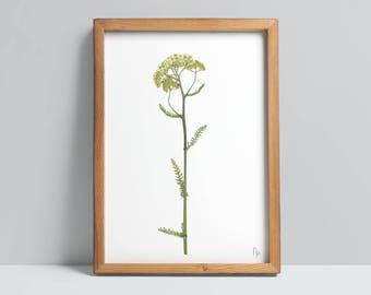 Achillea millifolium / Yarrow Fine Art Print