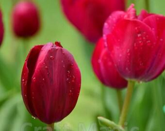 Deep Pink Tulip Matted Print