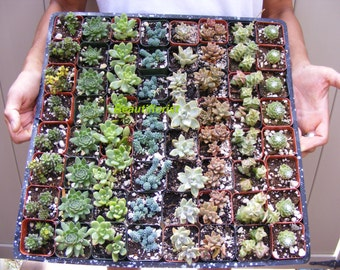 64 Assorted Succulent Plants 2 inch pot !! Great for wedding party favors