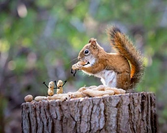 Funny Red Squirrel Print - Squirrel photography - Funny Nuts  - Animated Peanuts - Funny Animal Art - Wildlife Art - Cute Squirrel Art