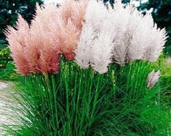500 Pampas Grass Mix Seeds