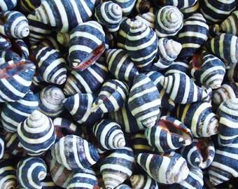 Bee Hive/Bumble Bee Seashells (20 pcs.) - Engina Mendicaria