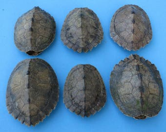 Preserved Map Turtle Shell  (EA)