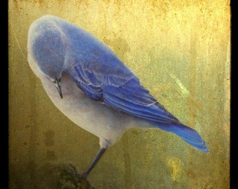 Bashful Bluebird, 5x5 Fine Art Photographic Print