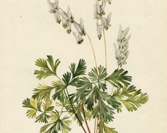 Vintage 1953 Dutchman's Breeches Wildflower Plant, Botanical, Floral Print for Framing, American Wildflower, PInk Blossoms
