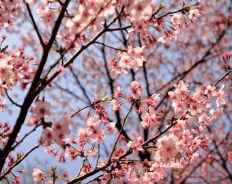 Cherry Blossom Photo, Nature Photography, Nature Photo, Shinjuku Garden, Japan, Tokyo, Flowers