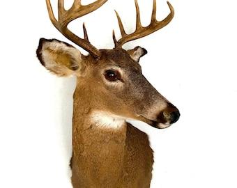 Vintage Taxidermy Deer Head Mount