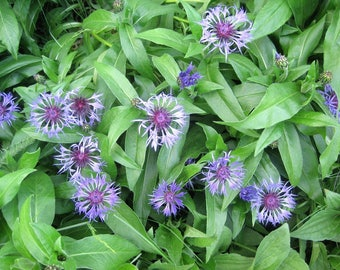 6 live plants. Bachelor Button. Perennial. Sapphire-Blue flowers. Full sun to part shade.