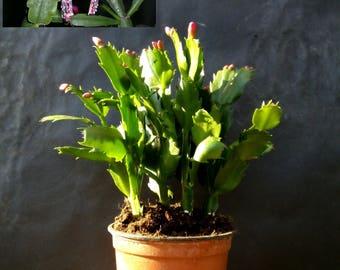 Dark Pink Christmas Cactus Plant, chlumbergera Plant