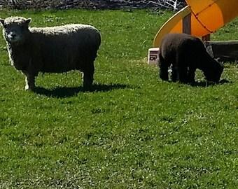 Raw unwashed babydoll wool