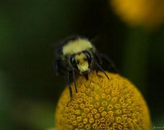 Yellow Face Bumble Bee