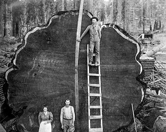 Photo of Loggers who hand sawed gigantic tree