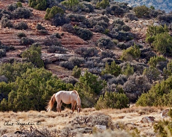 A wild stallion, Jemez, Pryor Wild Horse Range, Wildhorse  Photography