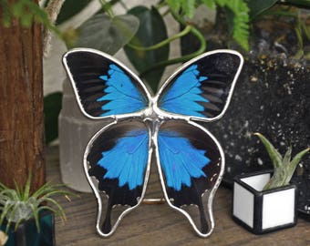 Real Butterfly Display. Papilio Ulysses Butterfly Display. Tabletop Display. Boho Style Decor. Blue Butterfly Shadowbox. Framed Butterfly