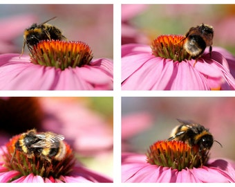 Set of 4 'Bee on Pink' Fine Art Photography Prints - bumble bee wall art - home decor - bee photography