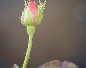 Red Rose Photography, Flower Photography - Fine Art Photography